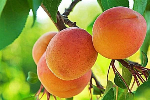 abrikoos hargrand